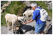 Meeting the alpine goats - Foto di Gianni Meazza