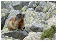 Marmotta / Foto © Stefano Caldera